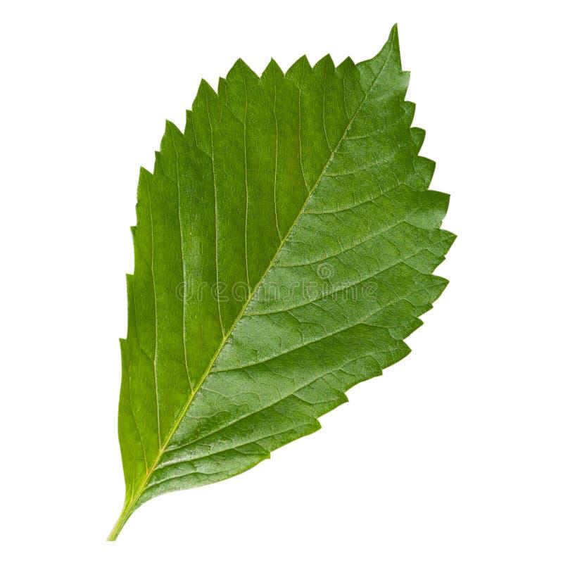 Свежие зеленые лист изолированные на белой предпосылке стоковое изображение rf