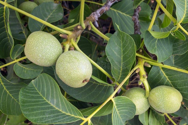 Свежие зеленые молодые плодоовощи грецкого ореха на ветви дерева с листьями стоковые изображения rf