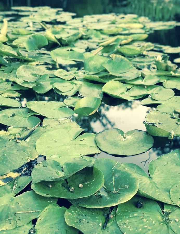 Свежие зеленые пусковые площадки лилии Bucha - ВЛЮБЛЕННОСТИ - BUCHA - УКРАИНА стоковые изображения rf