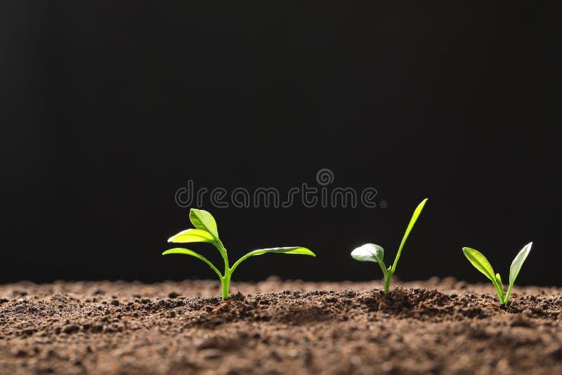 Свежие зеленые саженцы растя на черной предпосылке стоковое фото