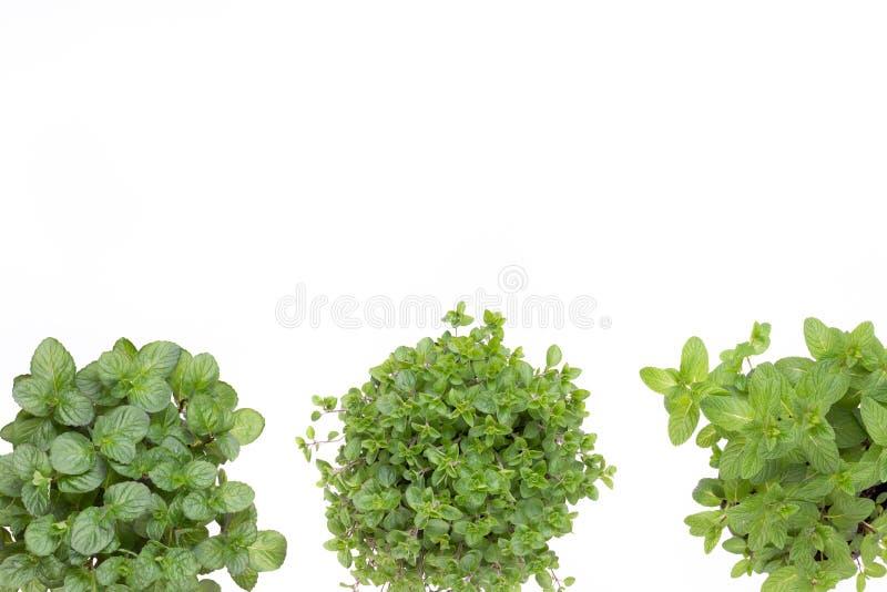 Свежие зеленые специи изолированные на белой предпосылке, взгляде сверху стоковые фото