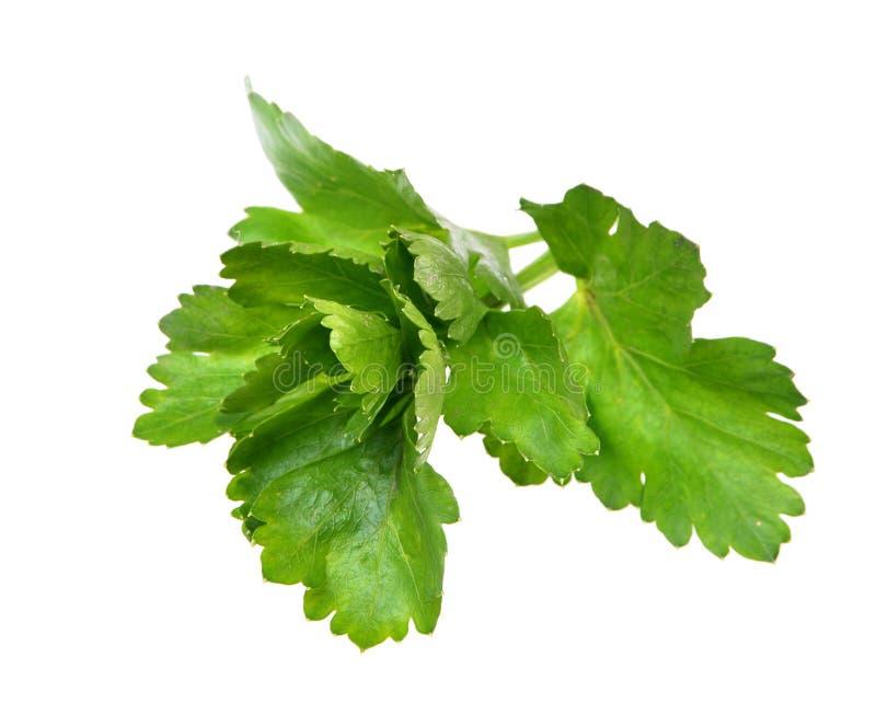 Свежие зеленые специи - лист сельдерея, изолированные на белизне стоковое фото
