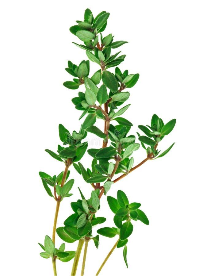 свежие зеленые хворостины тимиана стоковое фото