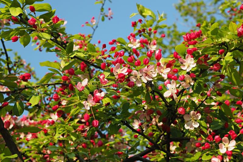 Свежие зеленые хворостины blossoming яблони с белыми цветениями и розовыми бутонами стоковое изображение