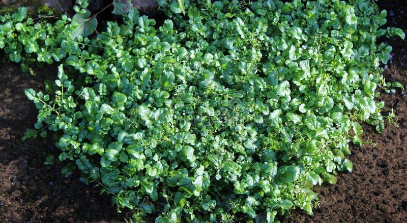 Свежие зеленые цвета кресс-салата стоковое фото rf