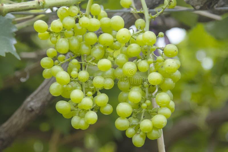 Свежие зеленые виноградины на лозе стоковые изображения rf