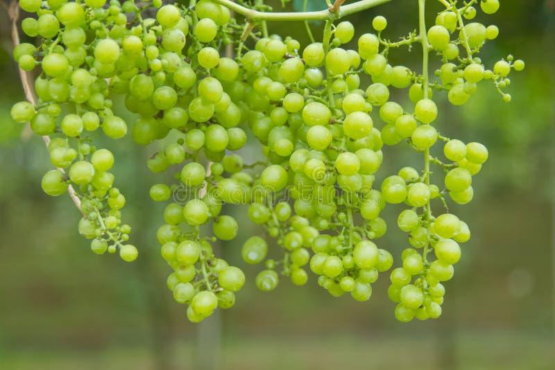 Свежие зеленые виноградины на лозе стоковые изображения