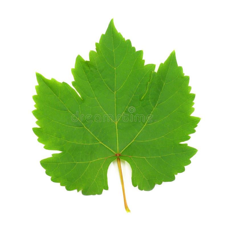 Свежие зеленые лист виноградины стоковые изображения rf