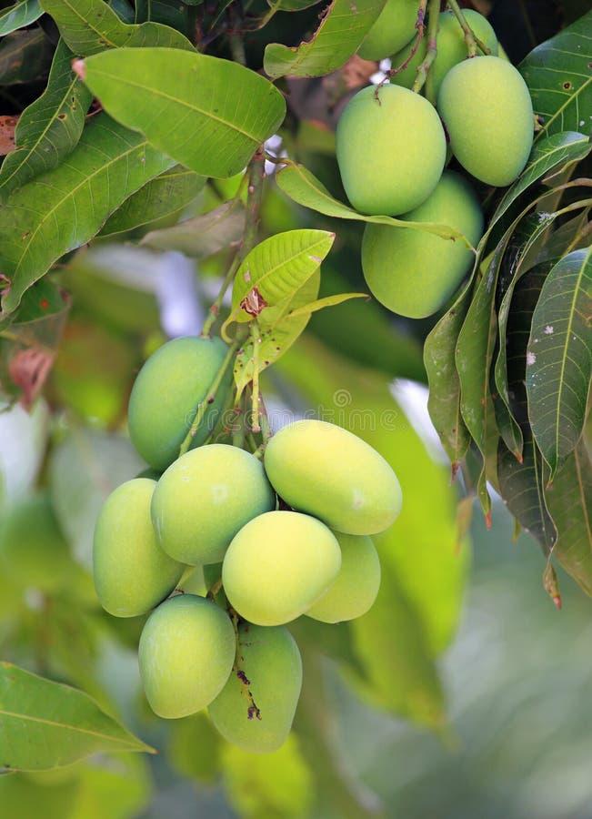 Свежие зеленые манго стоковое изображение