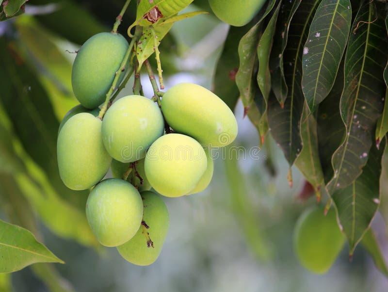Свежие зеленые манго стоковые изображения rf