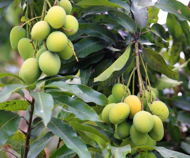 Свежие зеленые манго стоковые фотографии rf