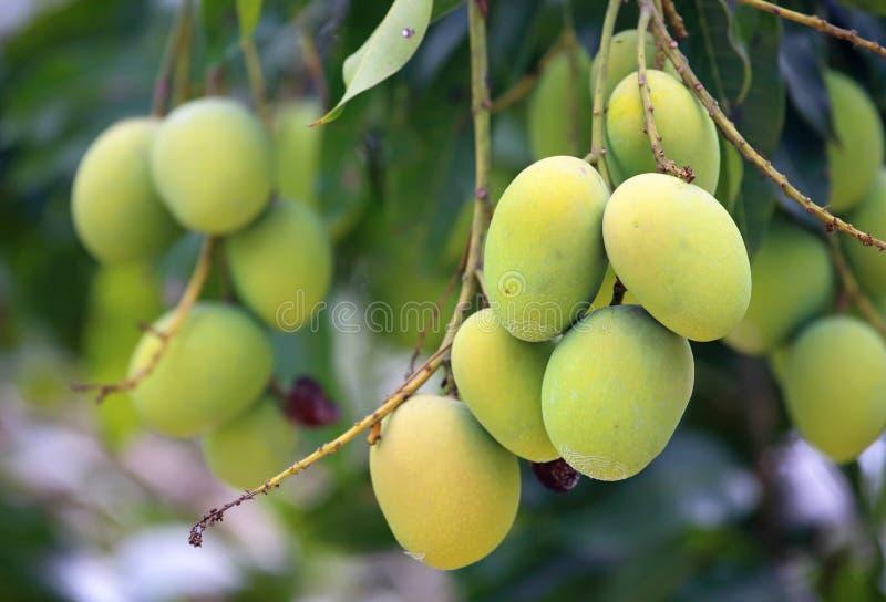Свежие зеленые манго стоковое изображение rf