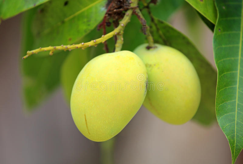 Свежие зеленые манго стоковое фото rf