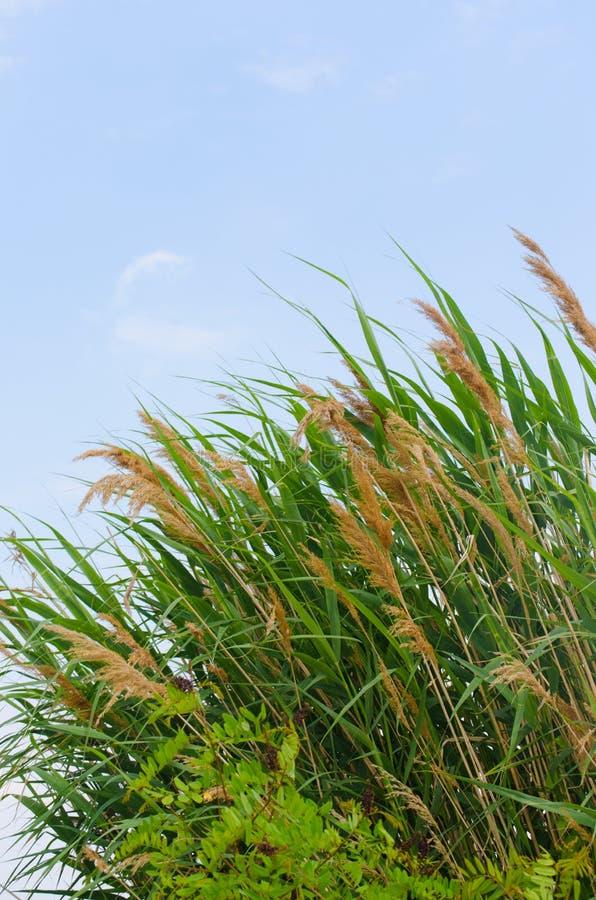 Свежие зеленые тростники стоковое изображение rf