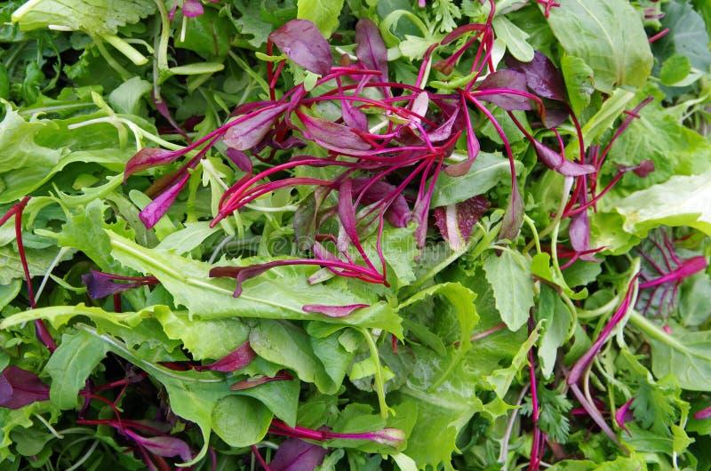 Свежие зеленые цвета поля смешанного салата стоковое изображение rf