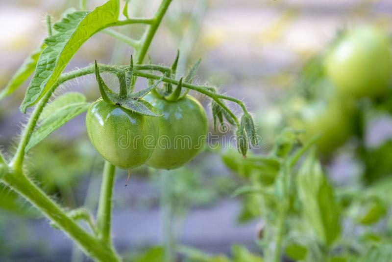 Свежие зрелые зеленые томаты в саде Растущие органические овощи Здоровая еда, еда сырцового vegan здоровая стоковое изображение