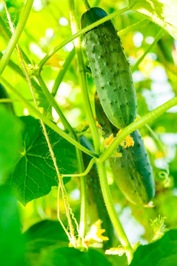 Свежие зрелые огурцы растя в парнике стоковое фото rf