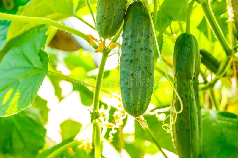 Свежие зрелые огурцы растя в парнике стоковое изображение rf