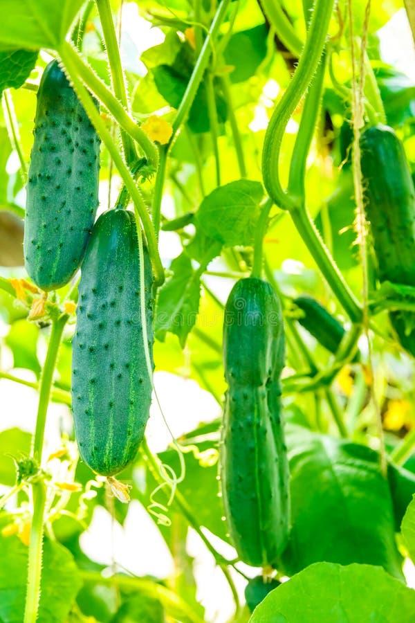 Свежие зрелые огурцы растя в парнике стоковая фотография rf