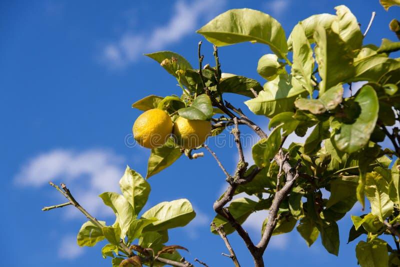 Свежие лимоны на лете природы голубого неба дерева лимона стоковое фото