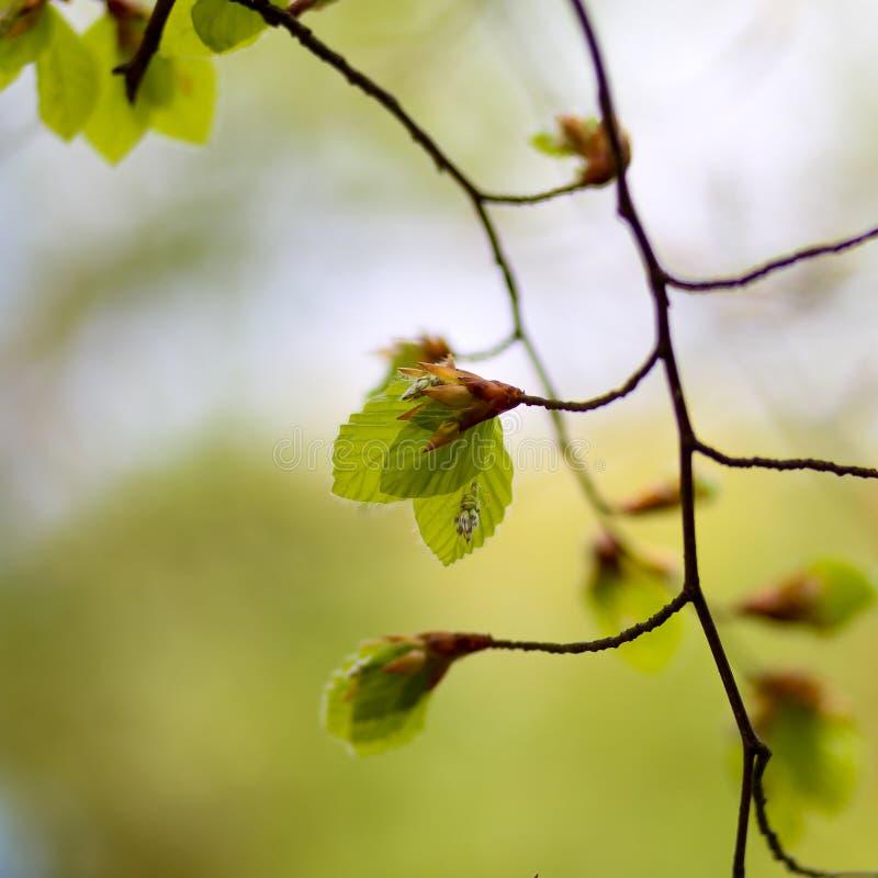 Свежие листья весны sylvatica Fagus общего бука стоковое изображение