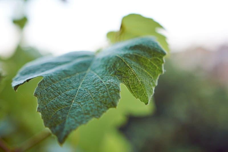 свежие листья зеленого цвета виноградины стоковые фотографии rf