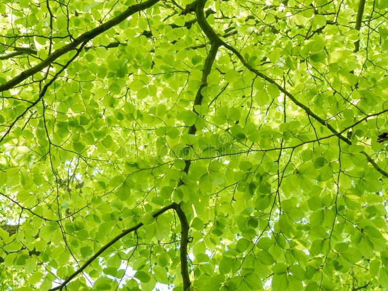 Свежие листья на дереве бука стоковые фотографии rf