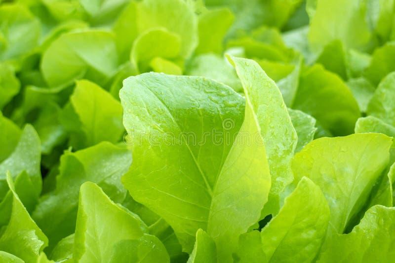 Свежие листья салата с падениями воды стоковые фотографии rf