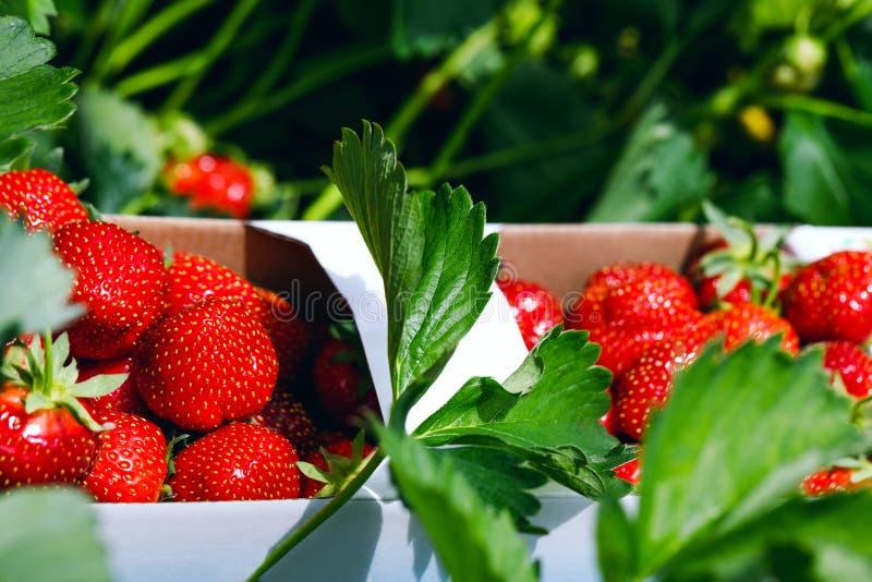 свежие клубники Аппетитное и очень вкусное красивое strawberr стоковые изображения