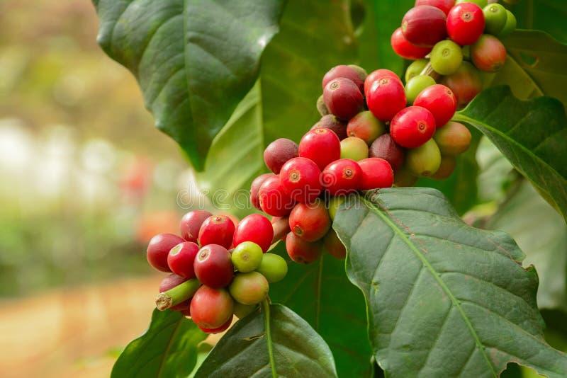 Свежие кофейные зерна на ветви завода кофе стоковые фото