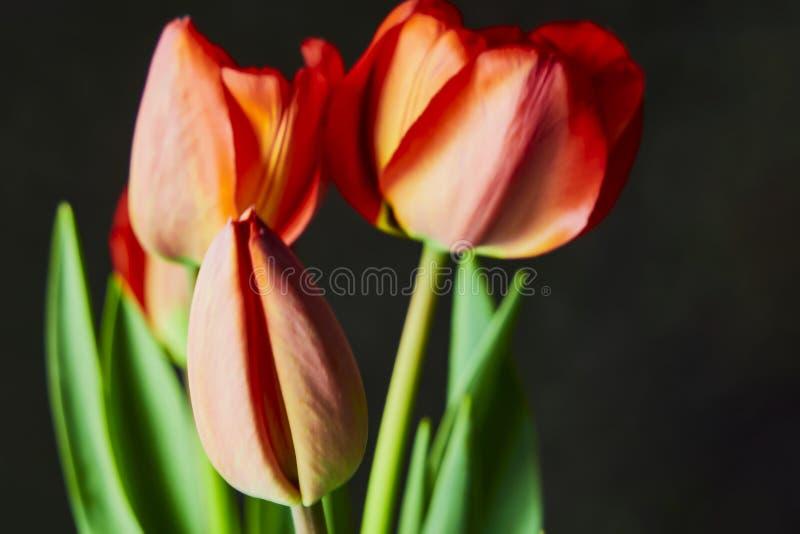 Свежие красные тюльпаны на праздник стоковое изображение