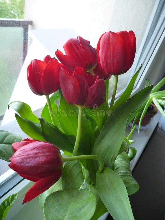 Свежие красные тюльпаны в цветении стоковые изображения rf