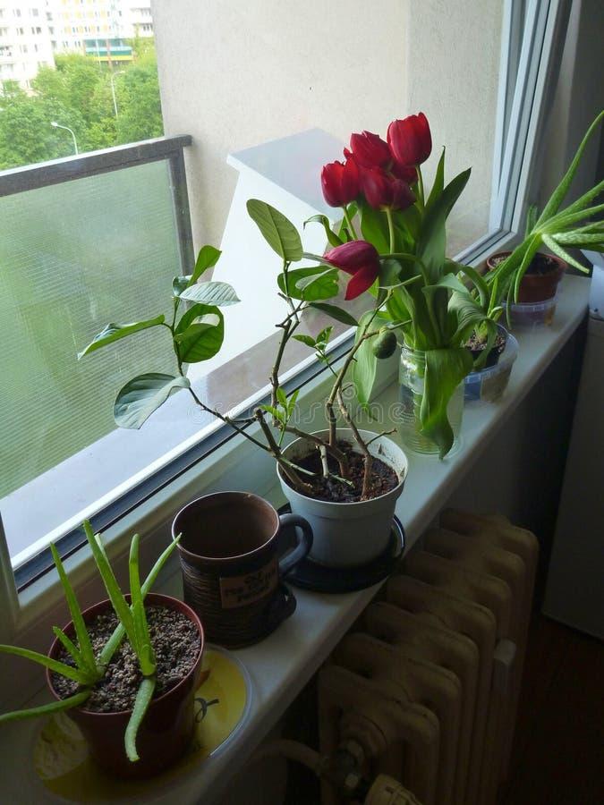 Свежие красные тюльпаны в цветении стоковое изображение