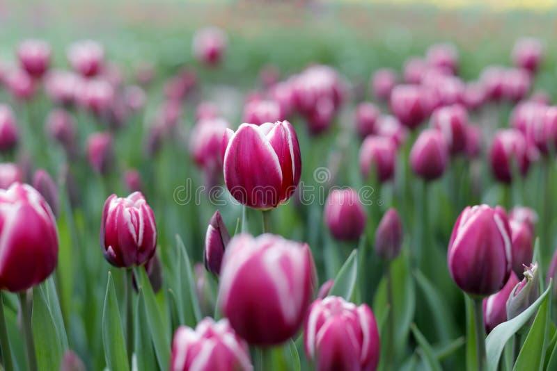 свежие красные тюльпаны стоковое фото rf