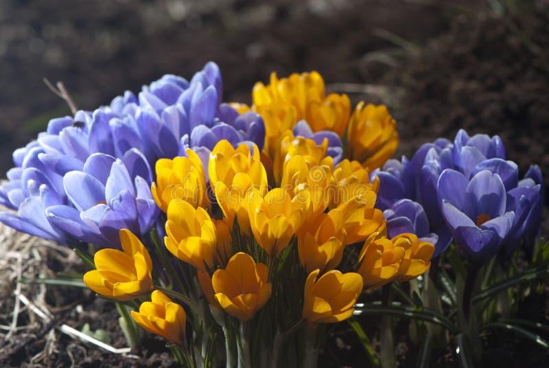 Download Свежие крокусы весны стоковое изображение. изображение насчитывающей конец - 41662957