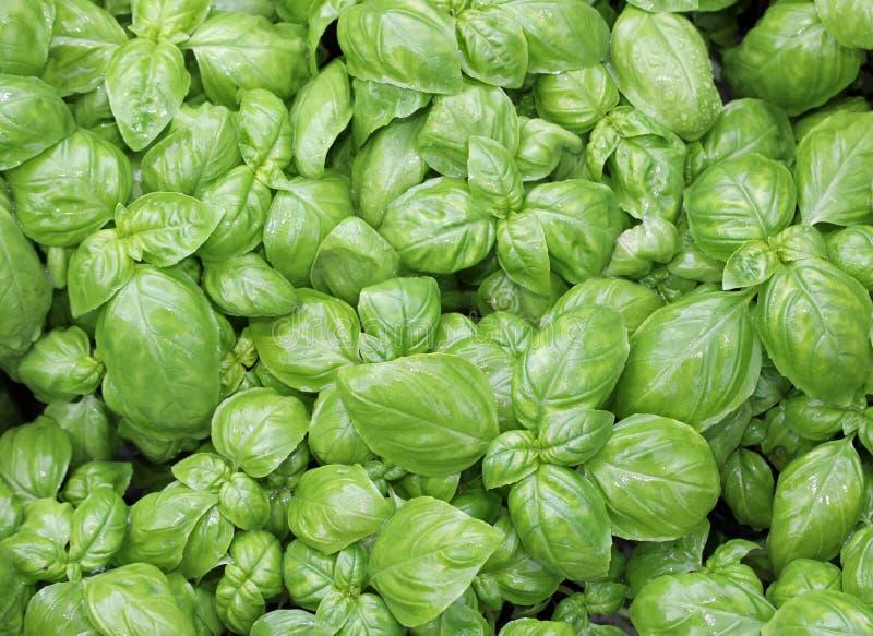 свежие листья базилика типичный ароматичный завод среднеземноморского стоковые изображения