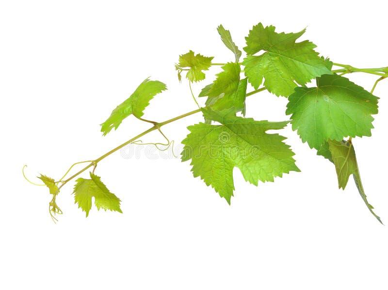 свежие листья зеленого цвета виноградины стоковое фото rf
