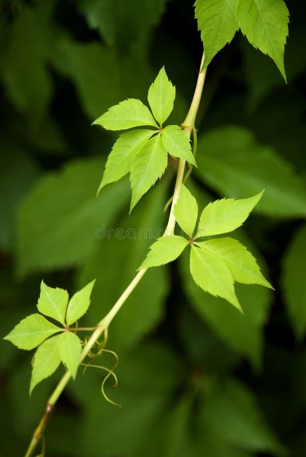 свежие листья зеленого цвета стоковое изображение rf
