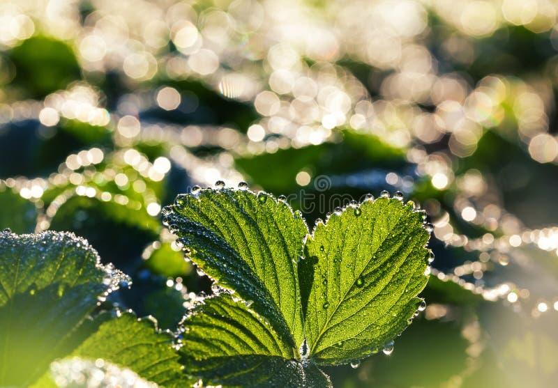 Свежие листья клубники стоковые фото