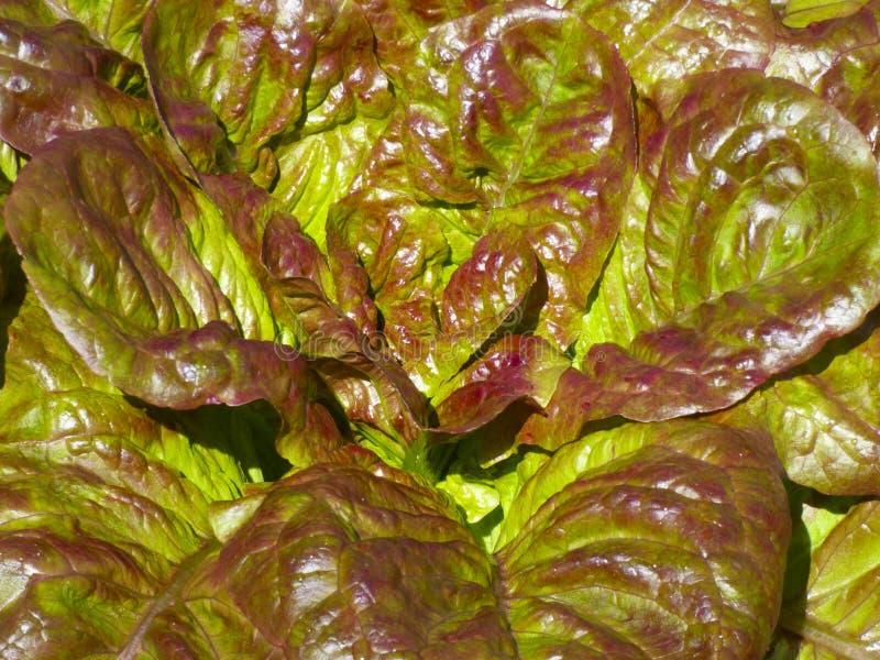 Свежие листья салата салата в солнечности лета стоковые изображения rf
