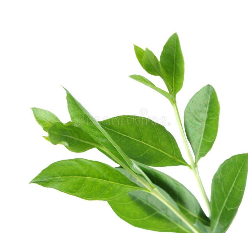 свежие листья хны стоковое фото