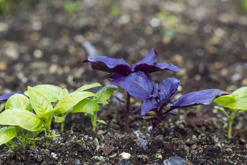 Свежие молодые листья и ростки базилика Базилик растя в саде стоковая фотография rf