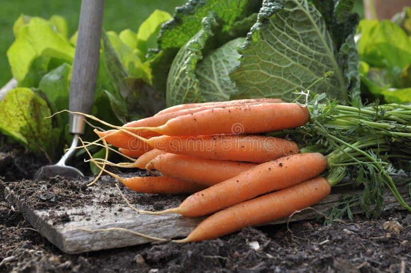 Свежие моркови в огороде стоковые изображения rf