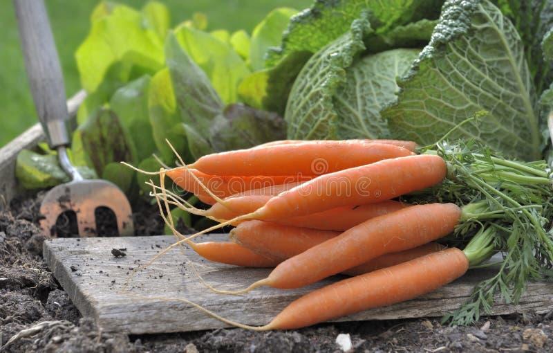 Свежие моркови в саде стоковые фото