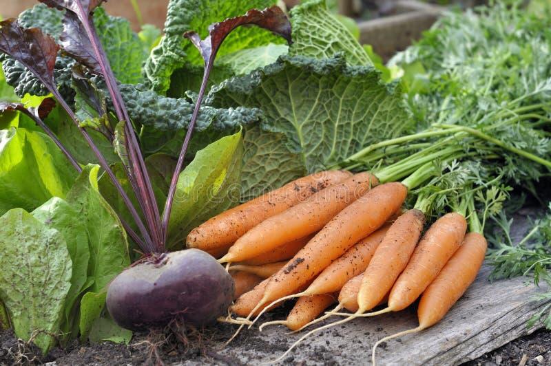 Свежие морковь и свекла в саде стоковые фото