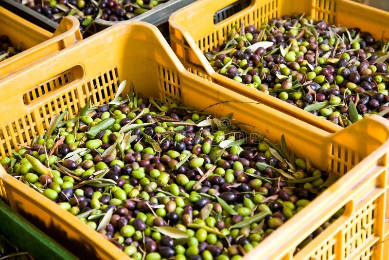 свежие оливки стоковые фото