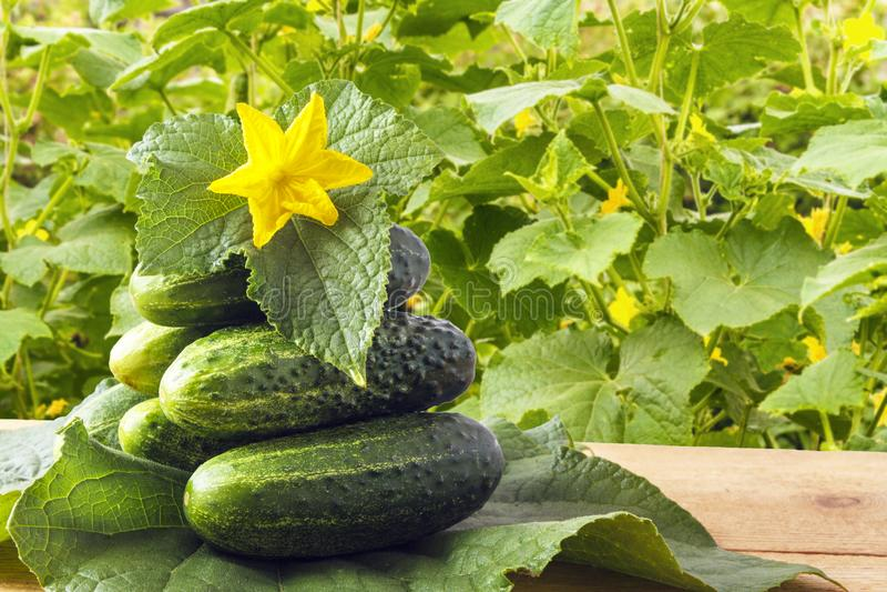 Свежие органические корнишоны и желтые цветки с зелеными листьями на деревянном столе в саде в лете Деревенская концепция образа  стоковые изображения rf