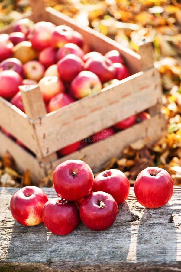 Свежие органические красные яблоки от осени жмут на местной ферме стоковые изображения