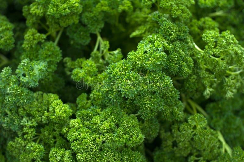 Свежие органические листья Kale стоковое изображение
