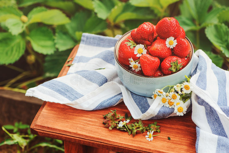 Свежие органические домашние клубники роста на деревянном столе в плите стоковые фотографии rf